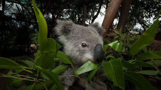 Ein Koala in einer Tierklinik frisst Eukalyptusblätter. Beerwah, Queensland, Australien.