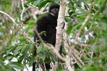 Der neu beschriebene Langur Presbytis percura gilt als vom Aussterben bedroht. Er zählt nun offiziell zu ...