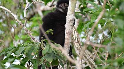 Aus 1 mach 3: Kotproben offenbaren neue Primatenarten