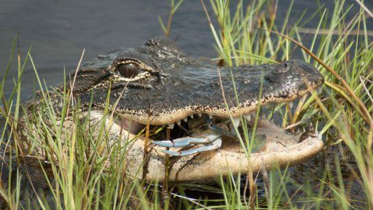 Alligatoren sind eine von vielen Tierarten, die wieder in von Menschen bewohnte Gebiete zurückkehren.