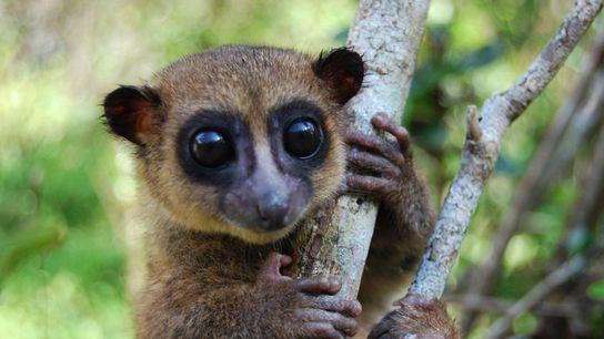 Ein Fettschwanzmaki der Art Cheirogaleus grovesi hält sich auf Madagaskar an einem Baum fest.