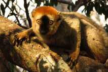 Rote Makis könnten Doppelfüßer nutzen, um Darmparasiten zu bekämpfen.