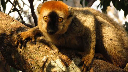Lemuren machen sich womöglich Medizin aus Tausendfüßern