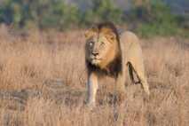 Dieses Löwenmännchen wurde in einem Wildtierschutzgebiet in Südafrika fotografiert. Ein anderes Reservat des Landes wurde kürzlich ...