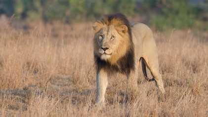Löwenrudel frisst in Südafrika drei Wilderer