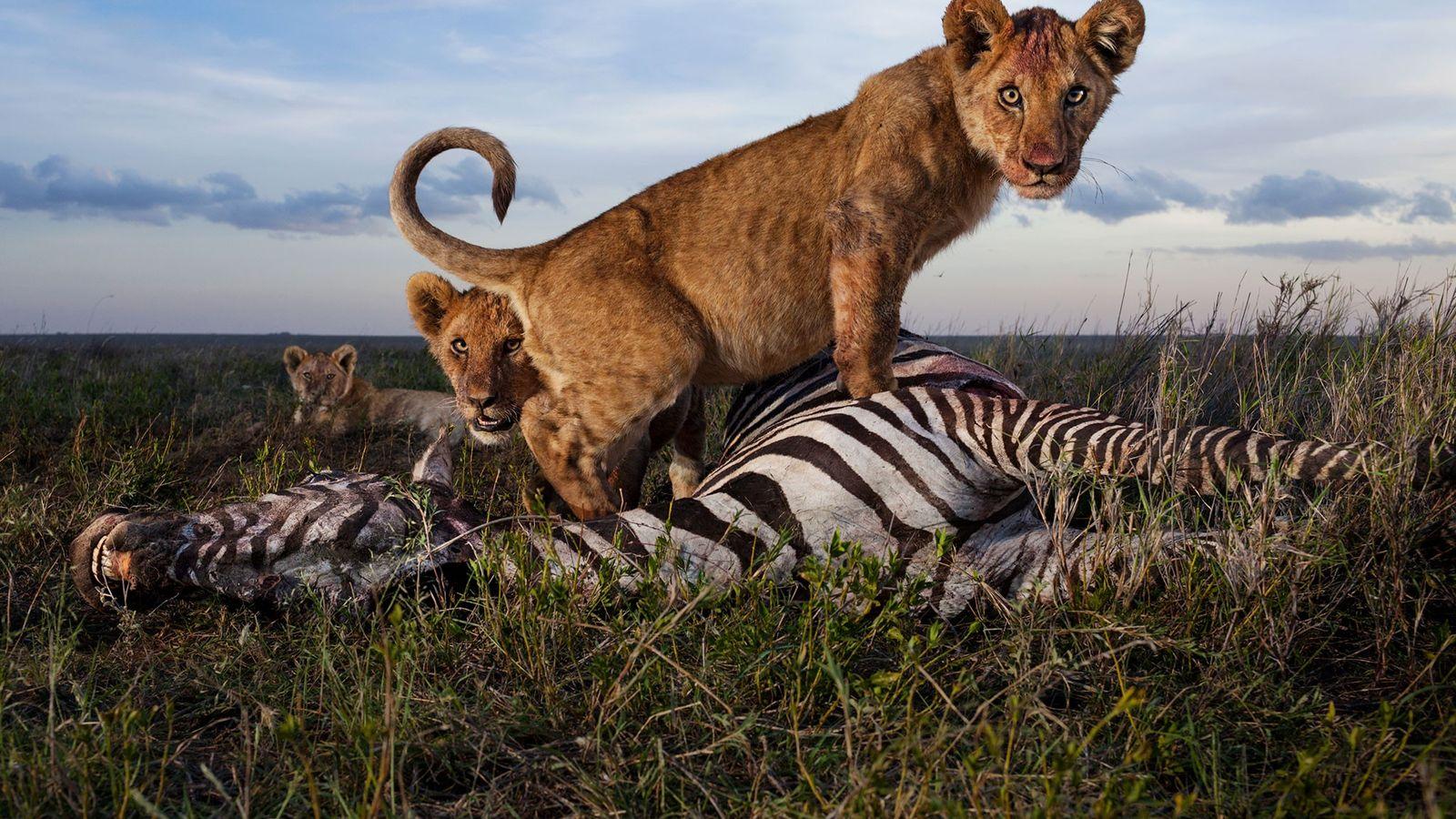 Löwin auf Zebra