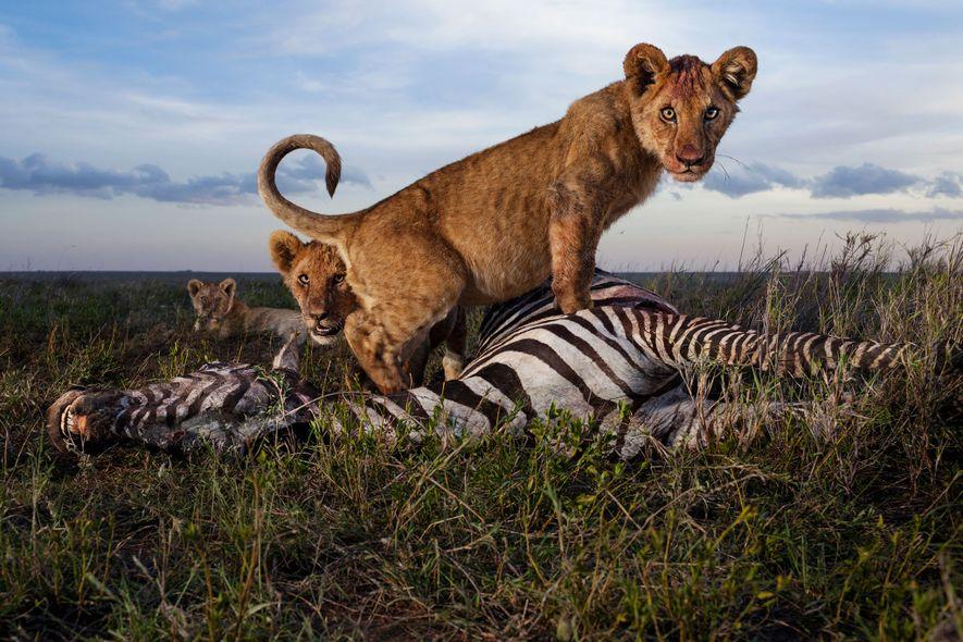 FANG DES TAGES Ein Löwenjunges steht auf dem Kadaver eines Zebras.