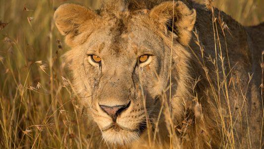 Evolution der Löwen: Der Schlüssel zur Rettung einer Art