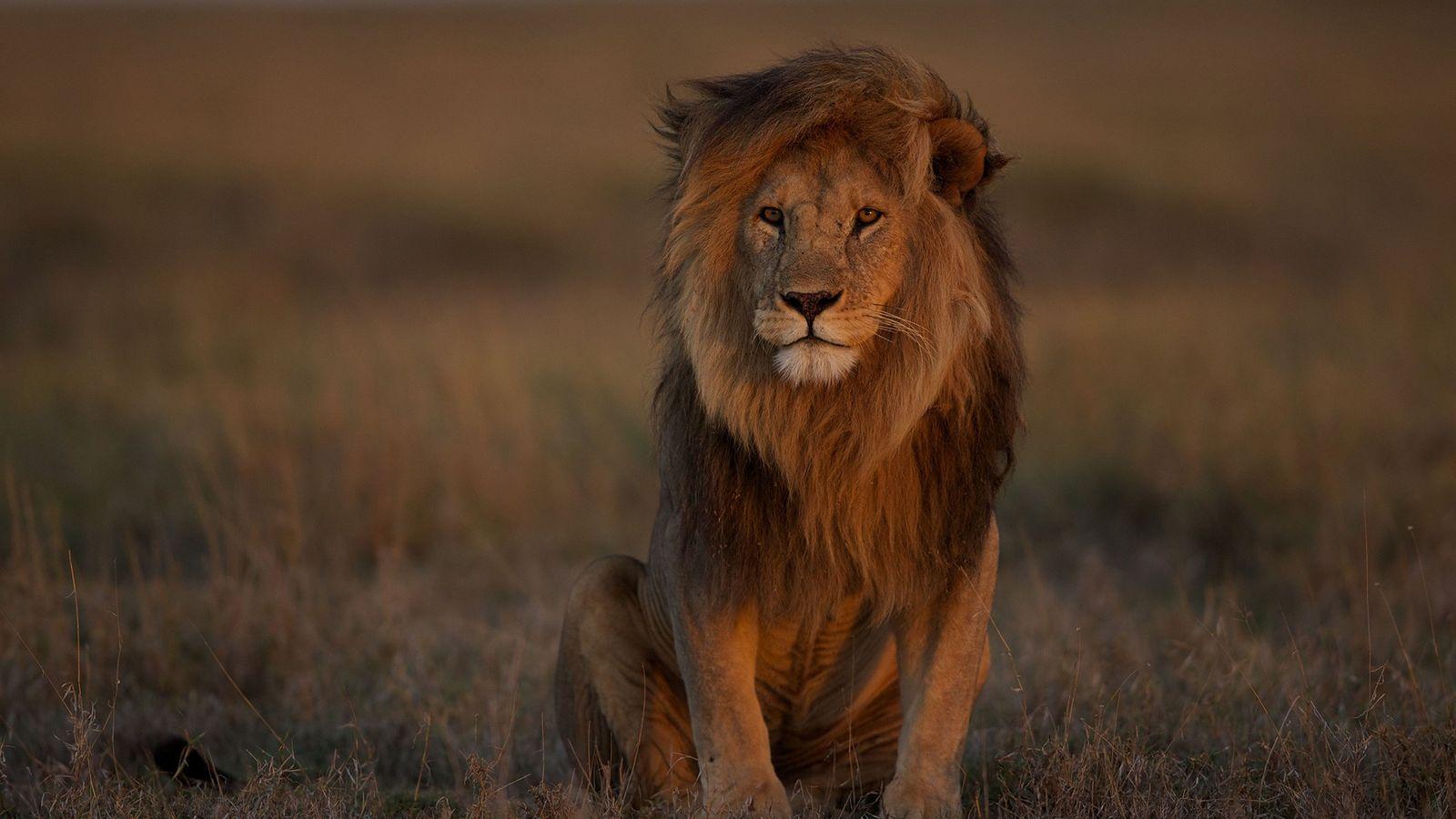 Ein ausgewachsenes Löwenmännchen in der Serengeti lässt seinen Blick über die Savanne schweifen. Der Bestand der ...