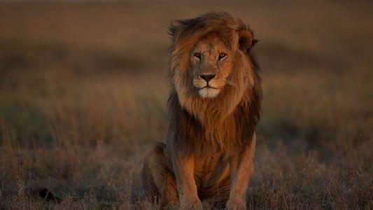 Das stille Sterben der Löwen