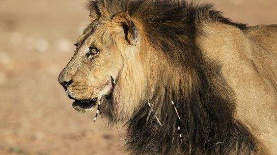 Einem Löwen im südafrikanischen Kgalagadi Transfrontier Park stecken Stachelschweinstacheln im Gesicht und Hals.