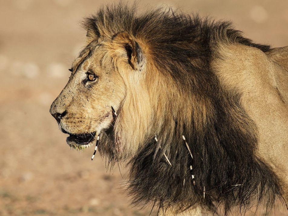 Löwenjagd auf Stachelschweine birgt Risiken für Menschen