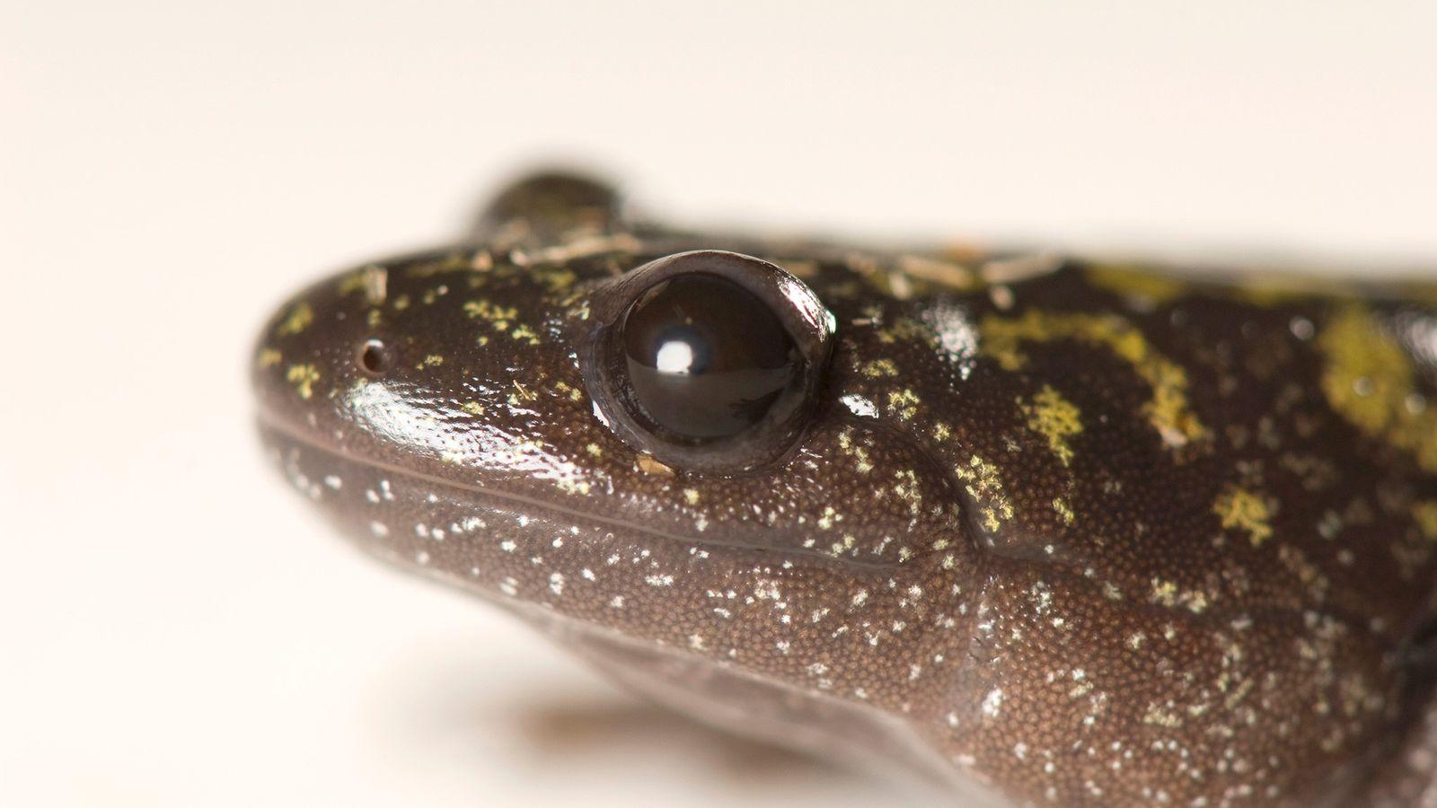Ein ausgewachsener Langzehen-Querzahnmolch (Ambystoma macrodactylum) in Deschutes County, Oregon, USA. Im Larvenstadium können die Exemplare einen ...