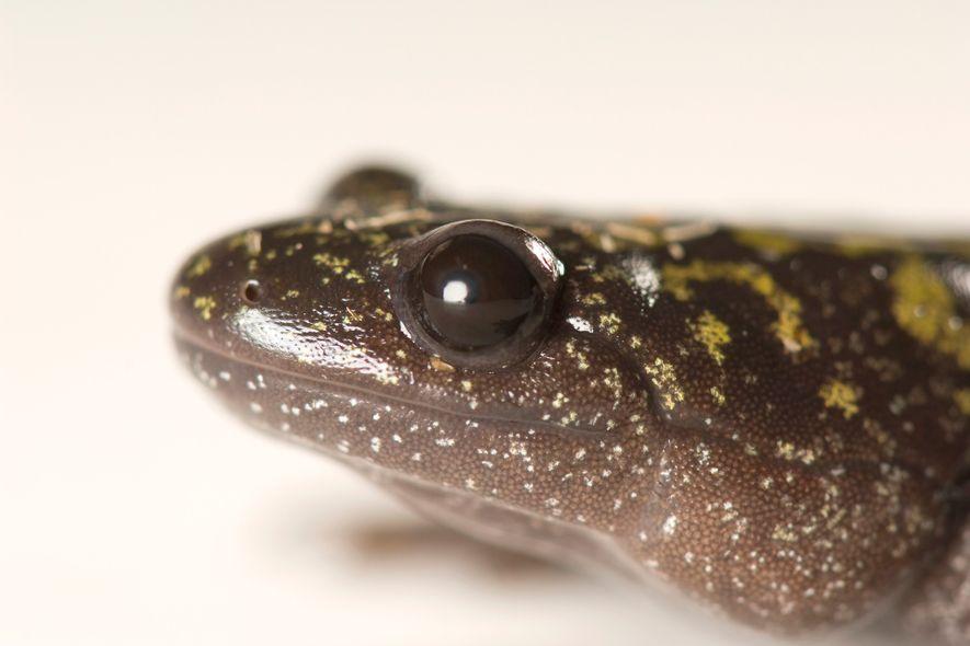 Kannibalen-Salamander: Bei Hunger wachsen die Zähne