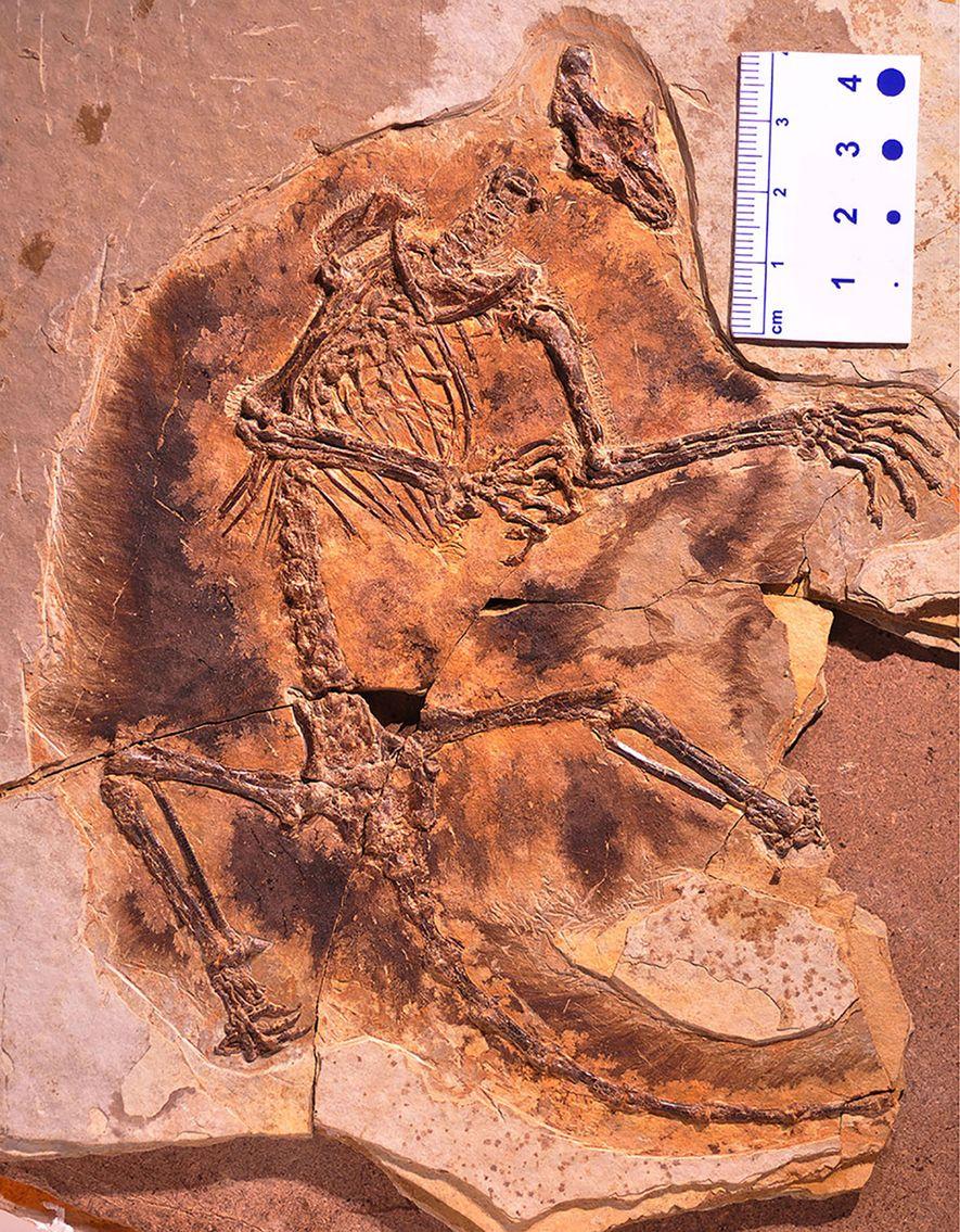Das detailreiche Fossil des Gleitsäugers Maiopatagium furculiferum lässt deutlich die pelzigen Flughäute zwischen den Armen und ...