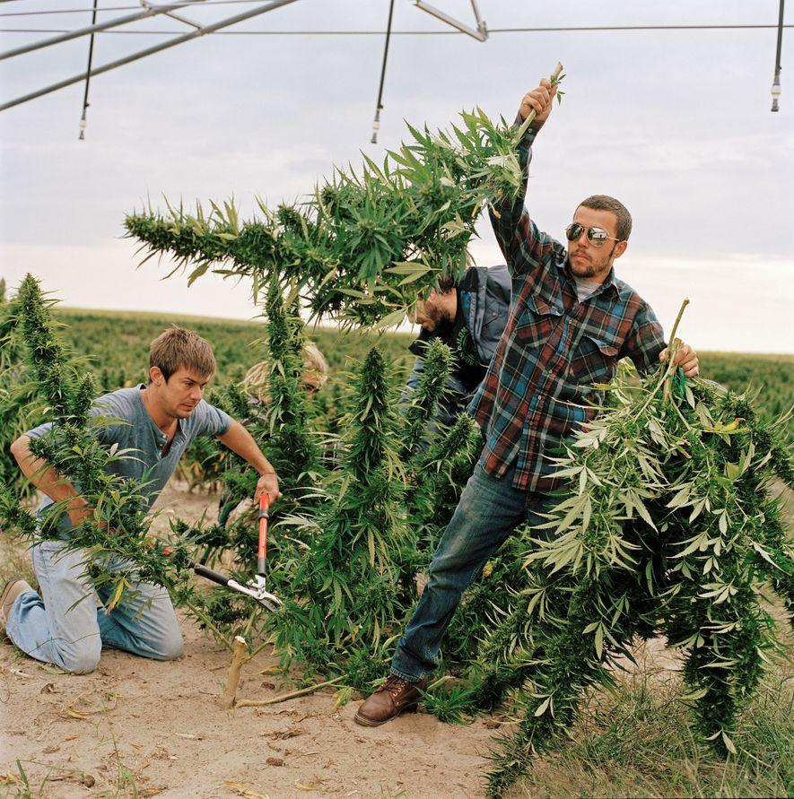 Ernte von Marihuanapflanzen