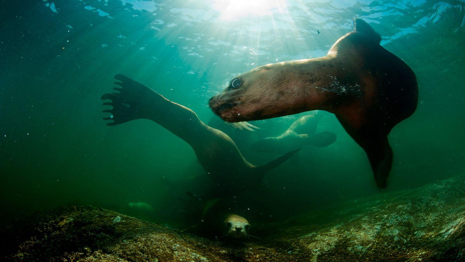 Diese Stellerschen Seelöwen schwimmen vor der Küste von British Columbia im Meer. Wissenschaftler sind besorgt, dass ...