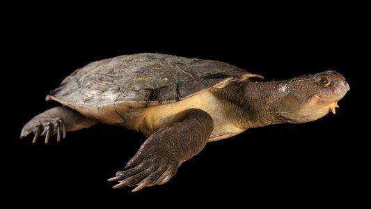Schildkröte mit grünem Iro vom Aussterben bedroht