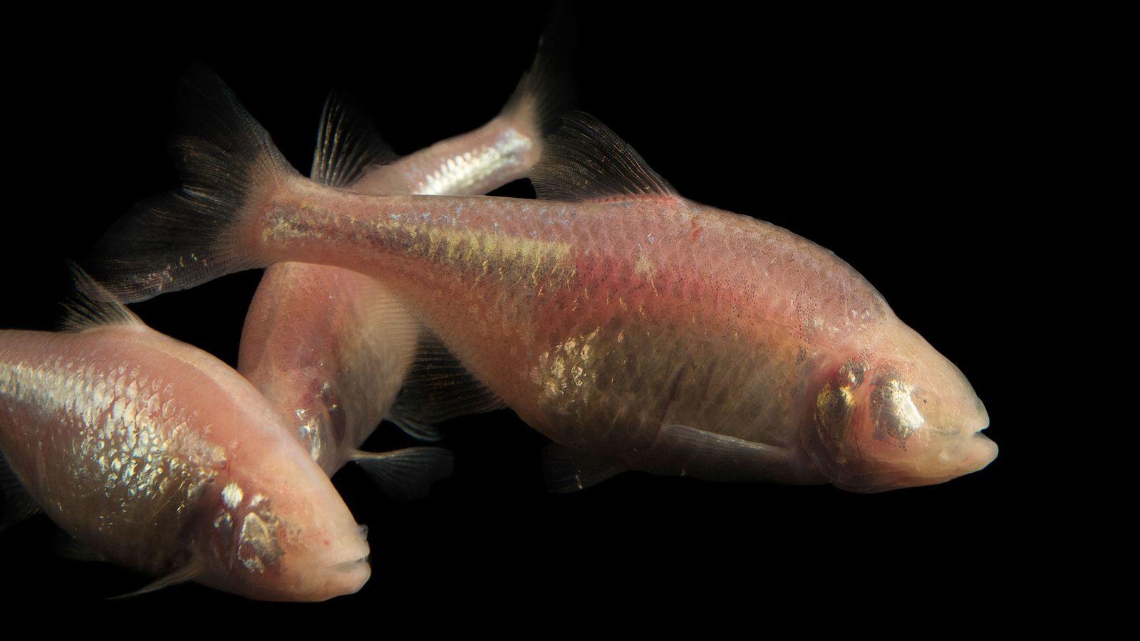 Ein mexikanischer Süßwasserfisch der Art Astyanax mexicanus im Zoo von Tulsa, USA.