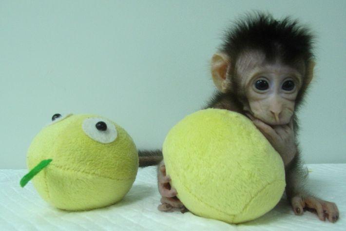 Hua Hua, einer der ersten Affen, der durch somatischen Zellkerntransfer geklont wurde.