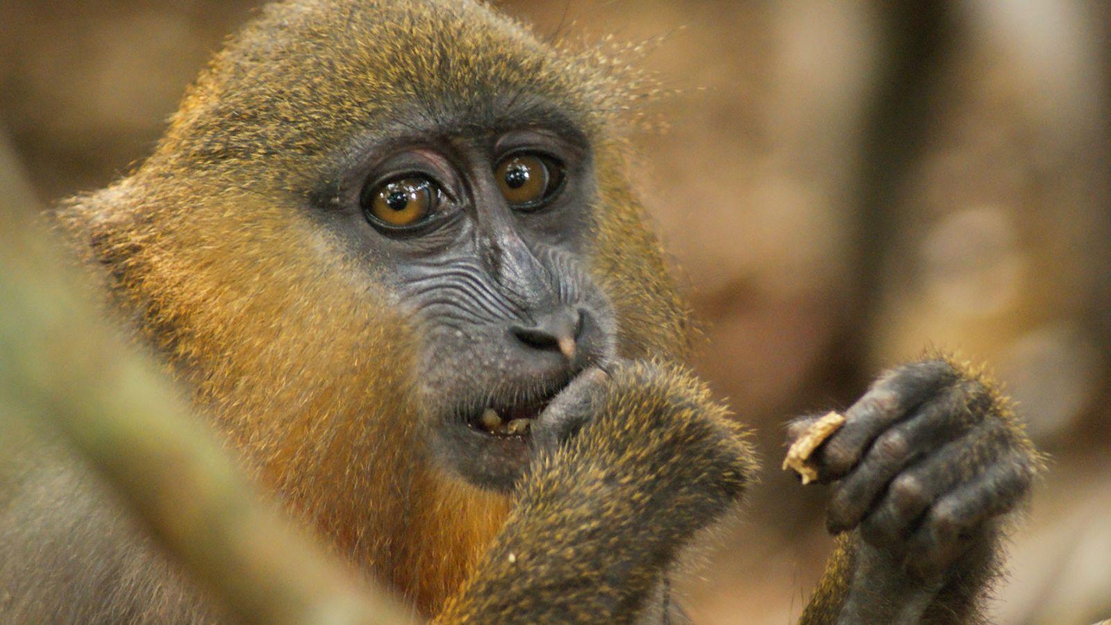 Ein junger Mandrill in Gabon