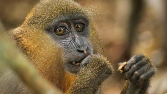 Das Riechen an Kot hilft Primaten beim Gesundbleiben