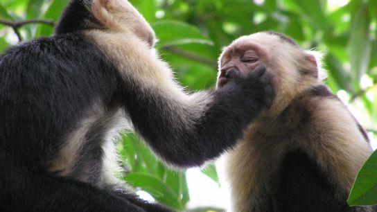 Weißschulter-Kapuzineraffen (Cebus capucinus) legen seltsame Verhaltensweisen an den Tag: Sie fassen sich gegenseitig in die Nase, ...