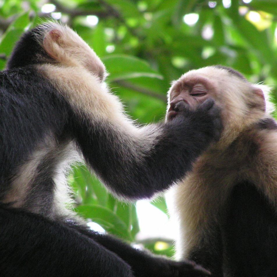 Kapuzineräffchen testen ihre Freundschaft mit seltsamen Ritualen