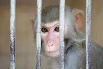 Ein Affe sitzt in einem vergitterten Käfig in einem Primatenversuchszentrum in Sochumi, der Hauptstadt der Autonomen ...