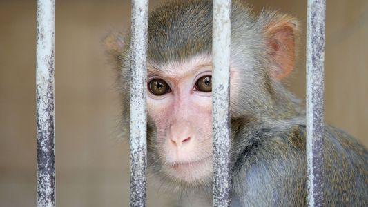 Versuche an Affen und Menschen bringen Autokonzerne in Bedrängnis