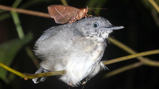 Nachtfalter am Hals eines Nördlichen Grauameisenschnäppers