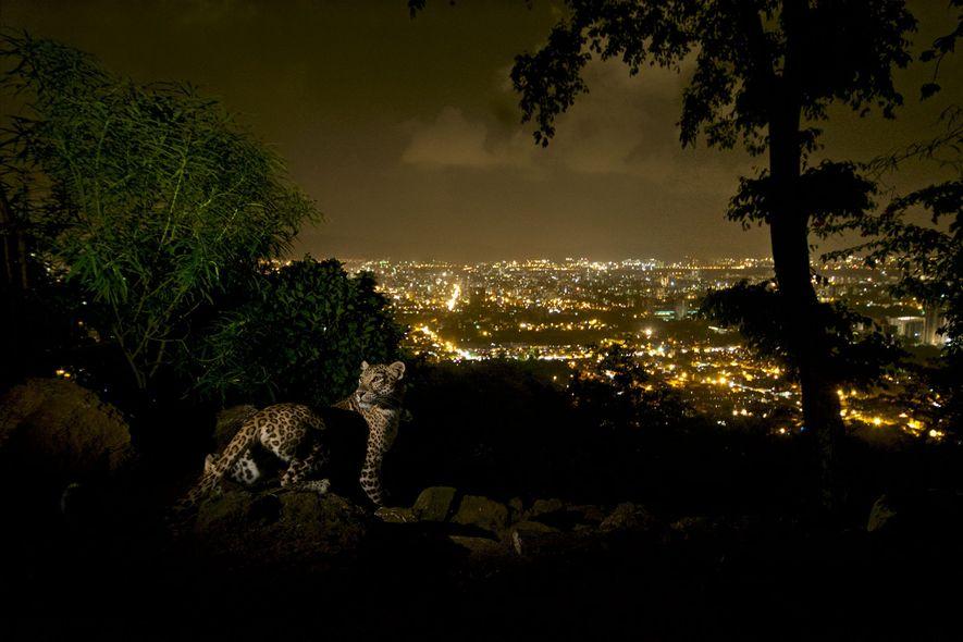 Stadtleoparden und ihr Nutzen für die menschliche Gesundheit