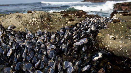 Pazifische Miesmuscheln (Mytilus trossulus), hier abgebildet am Strand von Vancouver Island in British Columbia, sind für ...