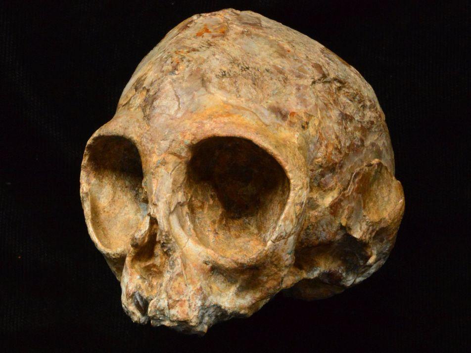 Galerie: 13 Millionen Jahre alter Affenschädel entdeckt