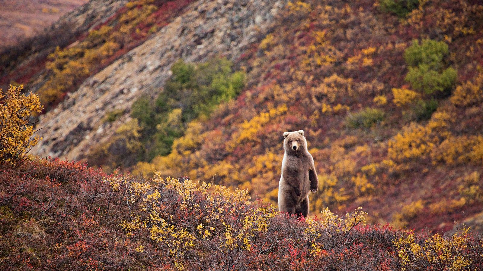 Im Denali-Nationalpark ist der Herbst die beste Zeit, um Tiere zu beobachten – darunter auch Grizzlybären ...