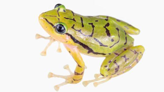 Neu entdeckt und schon gefährdet: Schwarz-gelber Frosch aus Ecuador