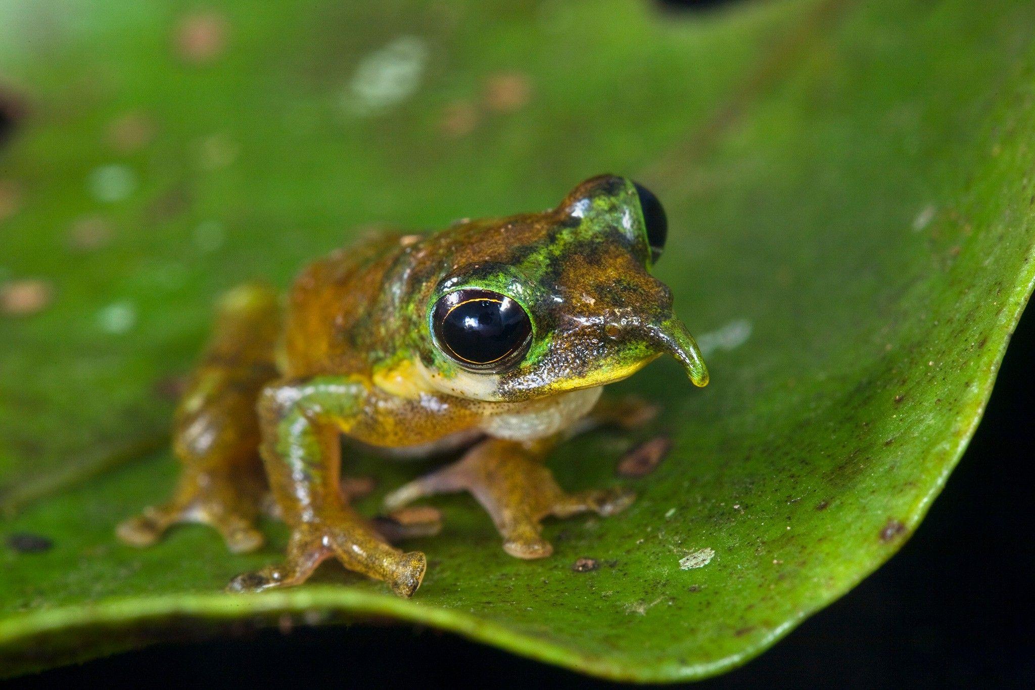 Neuer Pinocchio-Frosch mit rätselhafter langer Nase entdeckt