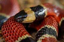Micrurus nigrocinctus ernährt sich oft von kleineren Schlangen, auch von einer bislang unbekannten Art.