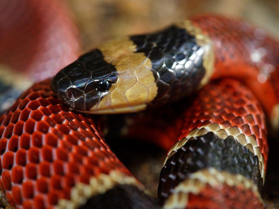 Neue Schlangenart im Magen einer anderen Schlange gefunden