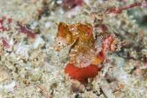 Die neu entdeckte Seepferdchenart Hippocampus nalu ist nur etwa so groß wie ein Reiskorn. Sie lebt ...