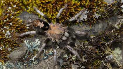 7 neue Vogelspinnen-Arten in Rekordhöhe entdeckt