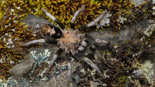 Forscher entdeckten sieben neue Vogelspinnen-Arten aus der Gattung Hapalotremus. Hier ist eine zuvor schon bekannte Hapalotremus ...