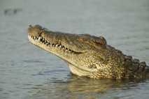 Nilkrokodile können bis zu sechs Meter lang werden.