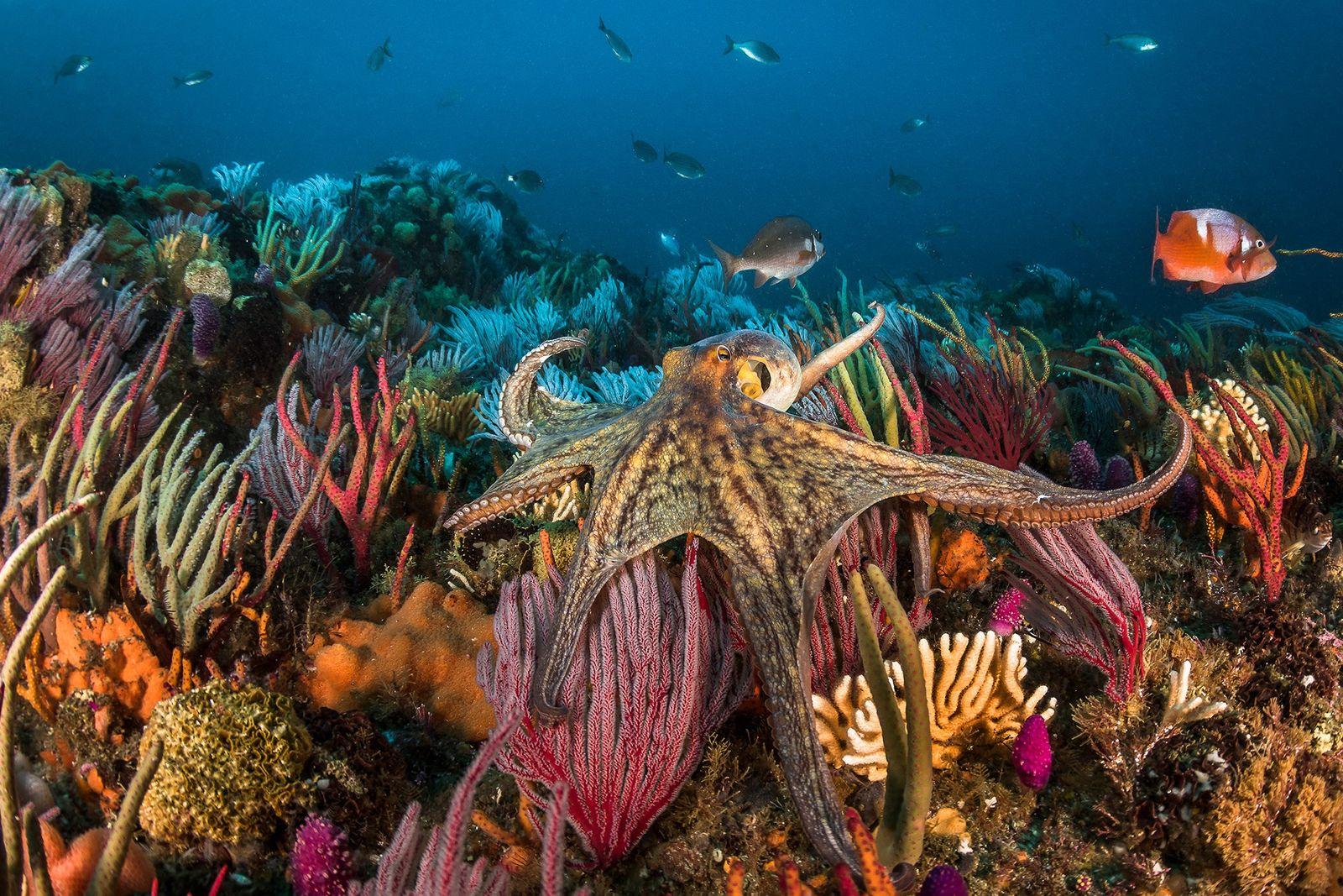 Der Appetit auf Oktopus: Wäre die Zucht der Tiere ethisch?