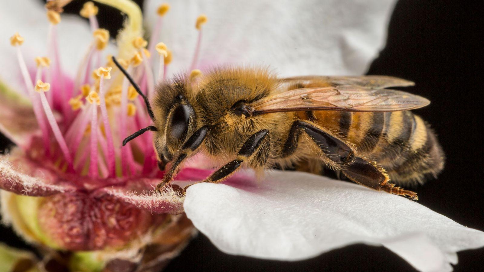 Diese Westliche Honigbiene ist eine Arbeiterin, was bedeutet, dass sie sich niemals fortpflanzen wird – das ...