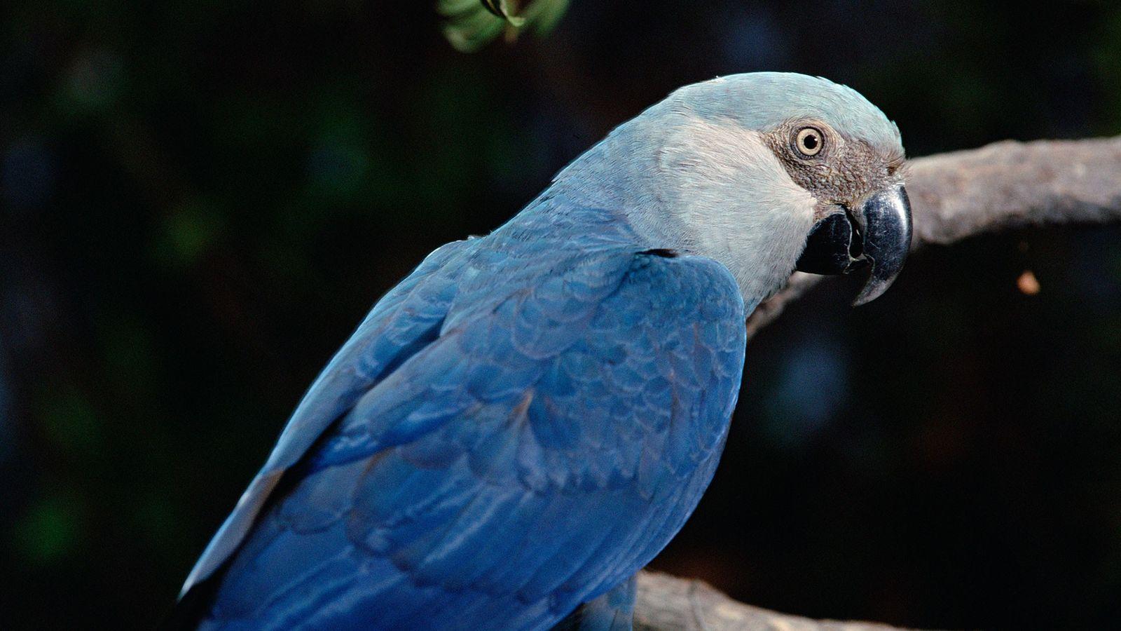 Laut einer neuen Studie von BirdLife International könnte der in Brasilien beheimatete Spix-Ara in freier Wildbahn ...