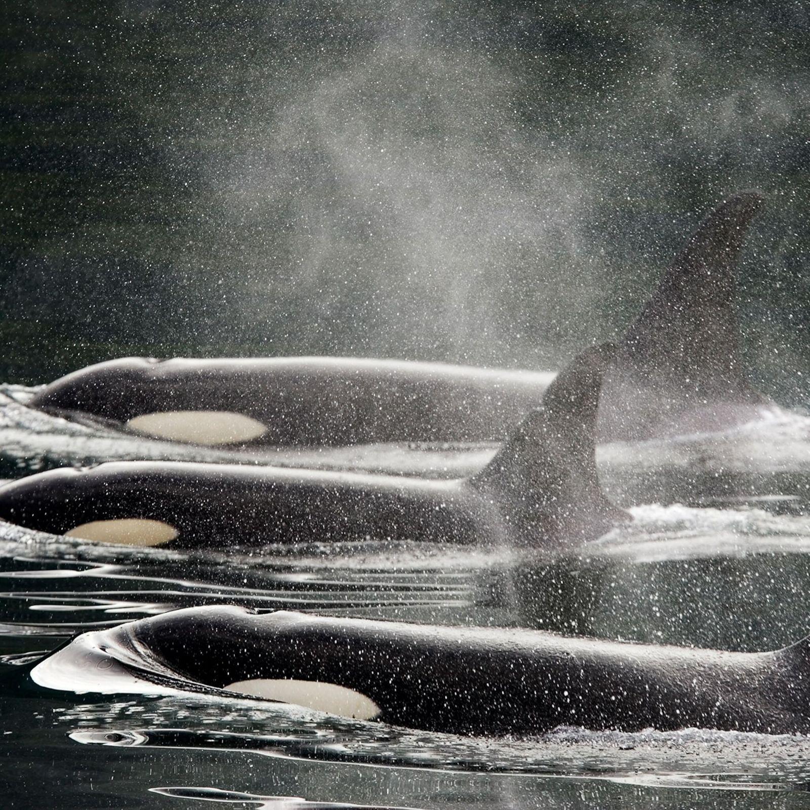 Drei-Orcas-an-der-Wasseroberfläche.
