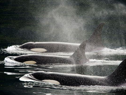 Gehasst, geliebt, gefährdet: Die Geschichte von Mensch und Orca
