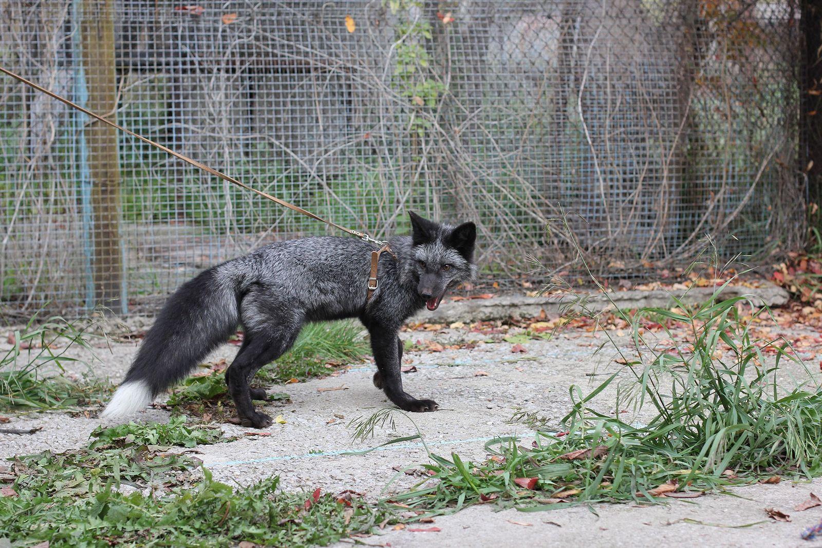 Seit 1959 werden in Russland Füchse gezüchtet, die entweder besonders freundlich oder besonders aggressiv sind. Das ...