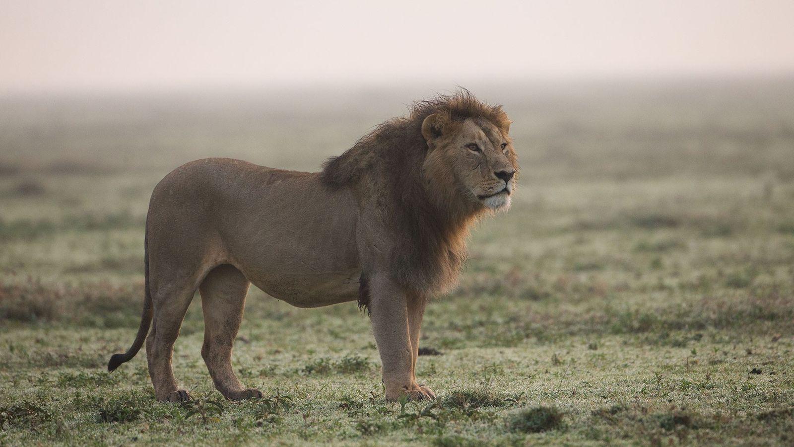 In Mosambik und anderen Teilen Afrikas, in denen es Löwen gibt, stehen die Raubtiere einer wachsenden ...